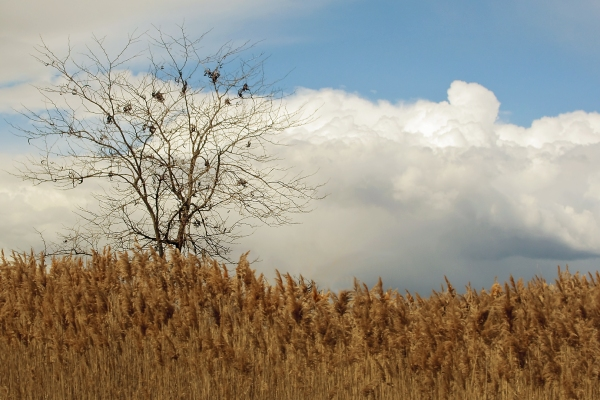 Un arbre, des roseaux, des nuages