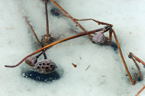 Prises dans une glace fondante, à la fin de l'hiver