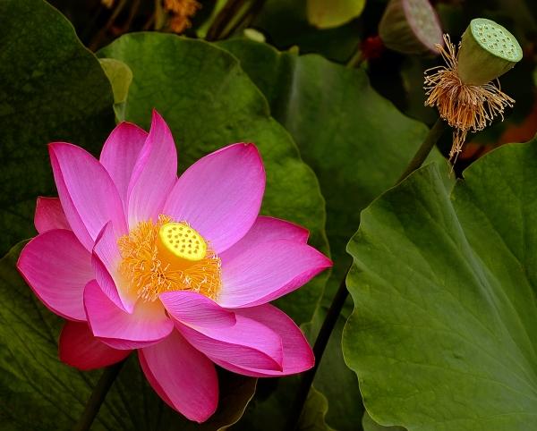 Le lotus d'Orient