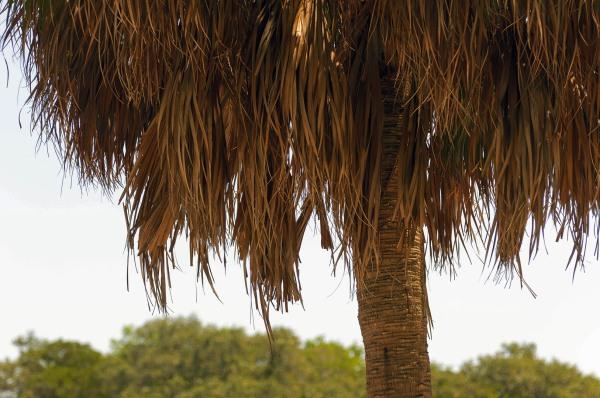 Une des nombreuses variétés de palmiers