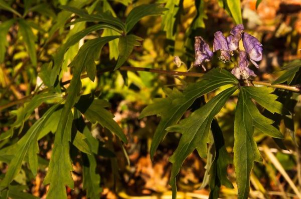 Les dernières fleurs de l'ancolie