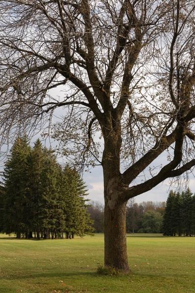 Arbre en parure d'automne - Parc Maisonneuve