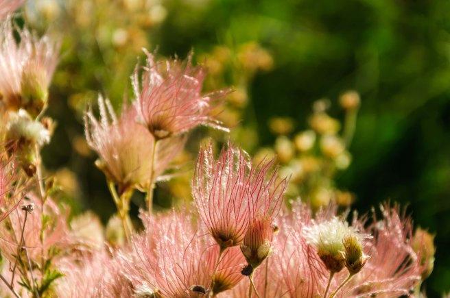 Santa Fe - Un coin du jardin botanique 5 Fallugia paradoxa